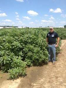 Palmer can grow at a rate of 2-3 inches per day, making it highly competetive with both corn and soybeans.